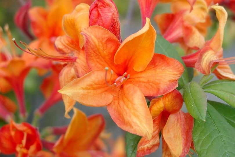 Anikas Fotos  Blumen  orange Blüten